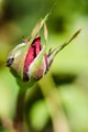 Simply, rose bud