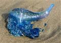 Blue Bottle Jellyfish