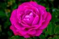 Pink Rose-9143