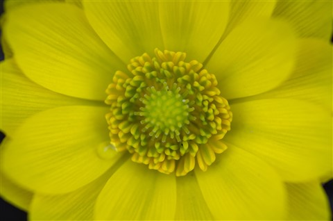 Yellow-green Corolla