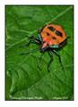 Hibiscus Harlequin beetle