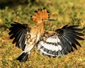 Hoopoe in flight showing off its crown