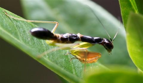 2013-03-03 PS Malaysia Lumut Mantis 1 Macro