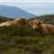 Highland Cows Near Plocton, Scotland