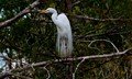 Great Egret at the Crew Bird Rookery Trail in Naples, FL