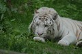 White tiger at Beauval