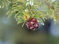 Pinon Pine Cone
