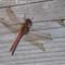 Dragonfly and nail P9280110-1
