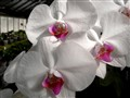white orchids  046