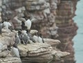 Guillemots at Frehel Cape cliffs, Brittany