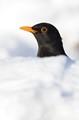 Black Bird, White Snow.