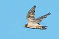 Peregrine falcon on its' way to serve breakfast