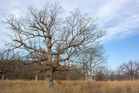 Oak; in Big Bluestem