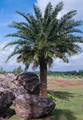 Cycads & palm,Date tree,rural India-