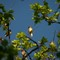 Processed_-08380: Cedar waxwings, Forest Park, St. Louis MO