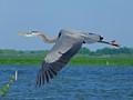 Great Blue Heron (Ardea herodias) - Lk Apopka Loop Trail, Zellwood, FL, USA - Date taken - 03/19/17, 11:04 AM - Photo ID - DSCF4945- Camera - FinePix X-S1 © 2017 Bill Elvey