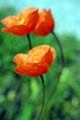 Poppy blurred