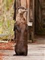Otter Up