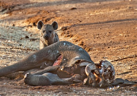 Hyena's Breakfast