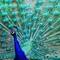 Peacock_II