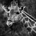 giraffe_B&W