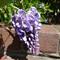 zs3-wisteria