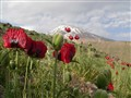 Poppies in Damavand