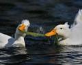 Crested Pekin Ducks