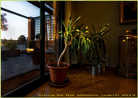yucca by the window v2