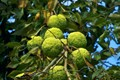 (Maclura pomifera) Its bright yellow-green fruit seen here growing near the canopy 20 ft (6.1m) up.