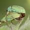 Weevil - Phyllobius sp. (green leaf or nettle weevil)