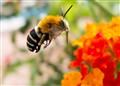 Menorcan bee