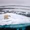 polar bear 070718-7384s: polar bear walking along ice floes in arctic ocean above svalbard norway