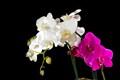Orchidblacksmall
