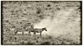 Dustup onthe savanna