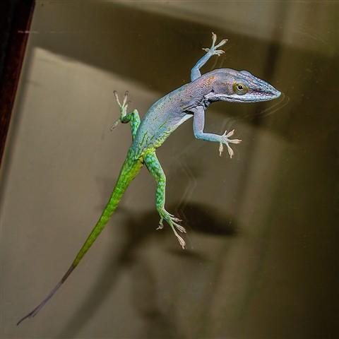 _6261847 P49 Lizard on Window