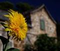 Flower od Dol