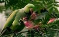 Big year Birds,2020,DPR,Challenge-Wild parrot,plucking,Bottle br