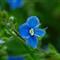 plavi cvijet