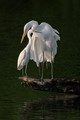 Great Egrets Peacefully Resting at Sunset