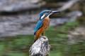 "Kingfisher  ""Alcedinidae"""