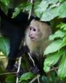 Capuchin Monkey in the wild