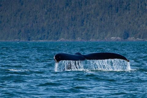 Humpback Whale, Juneau