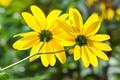 Western Sunflowers