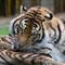 Tiger-033480