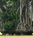 Bogor tree trunk