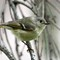 ruby-croened kinglet (1 of 1)