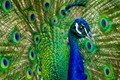 A Peacock from the LA Arboretum.
