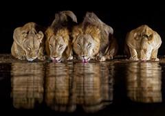 Zimanga Lions