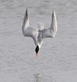 This Caspian Tern,Dropped from about 25 feet to make this dive, and did get its target, a small brim..